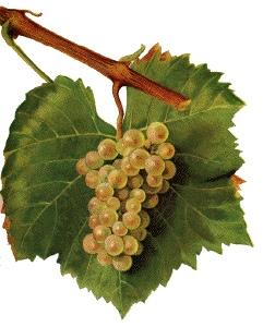 Aligoté - Druivensoort en -tros en -blad