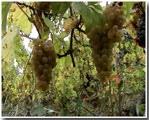 De Chardonnay Druif in een Onbespoten Wijngaard in de Viré-Clessé