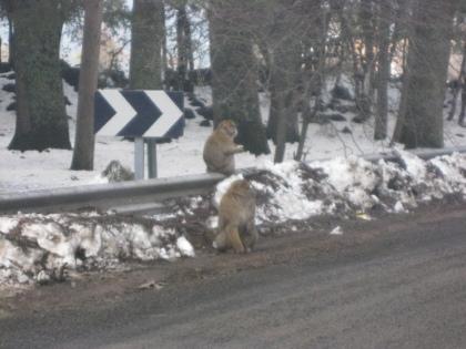 Inheemse Apen in de Sneeuw en Bergen van Marokko