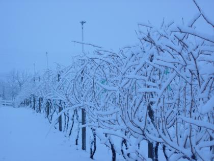 Canadese wijngaard ligt er 'snoei-gereed' bij in de Canton de l'Est - Eastern Townships